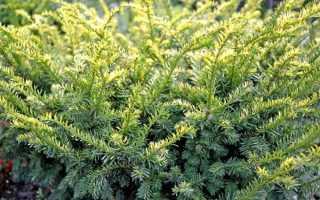 Тис (хвойное дерево)