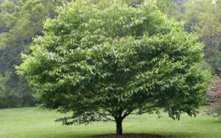 Граб — лиственное дерево