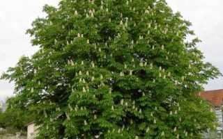 Каштан — описание дерева, распространение, выращивание