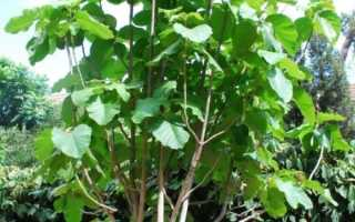 Тик (тиковое дерево)