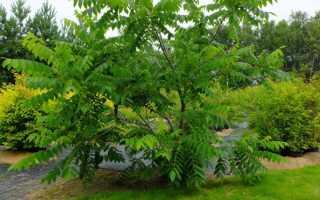 Посадка и выращивание маньчжурского ореха