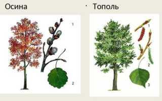 Как отличить осину от тополя