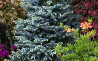 Голубая ель Хупси