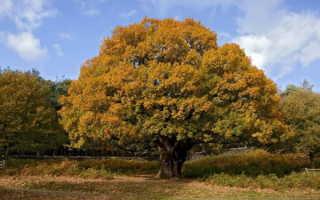 Дуб — дерево из Северного полушария