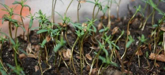 Как правильно вырастить тую из семян в домашних условиях