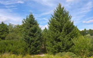 Пихта — вечнозеленое хвойное дерево