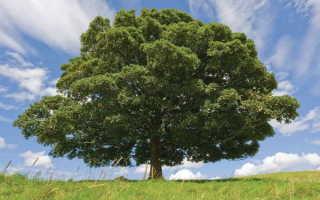 Бук — величественное дерево, распространенное до Ледникового периода