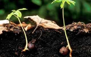 Как посадить каштан в домашних условиях