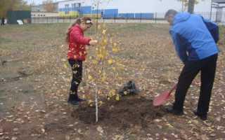 Как посадить березу из семян, черенка и саженца