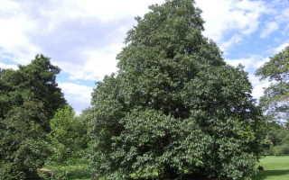 Ольха — описание дерева и листьев