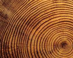 Годичные кольца деревьев