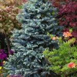 Ель Хупси в сочетании с яркими растениями