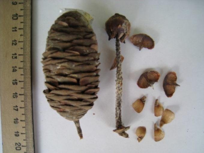 Семена сибирской пихты