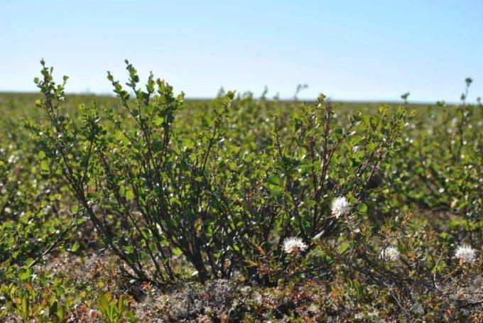 Карликовая береза в тундре