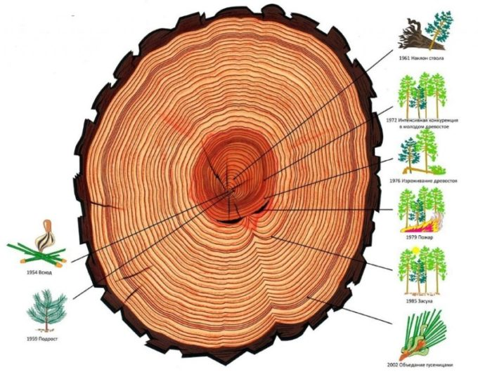 Развитие дерева по годичным кольцам