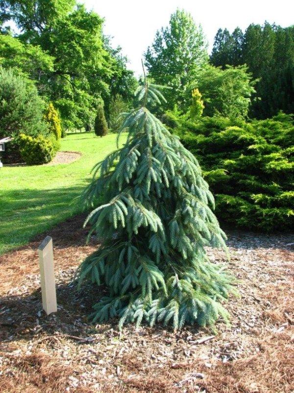 Picea Engelmannii Bush'sLace