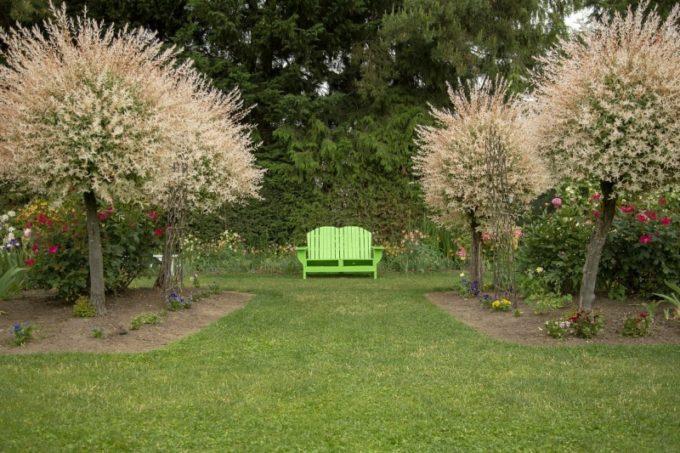 Salix integrа в ладшафтном дизайне