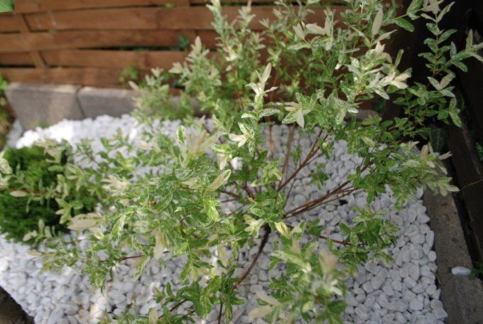 Кустик Salix integra