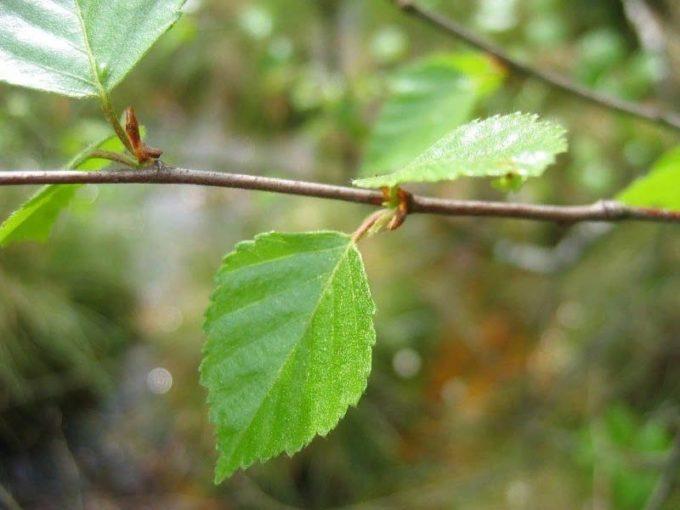 Листья березы пушистой