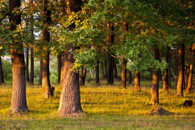 Дуб в лесу