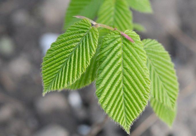 Листья граба