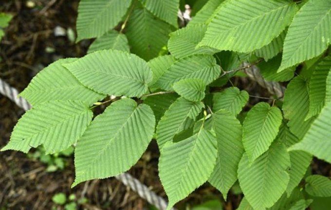 Листья граба сердцелистного