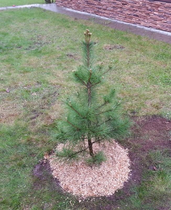 Молодое дерево кедра