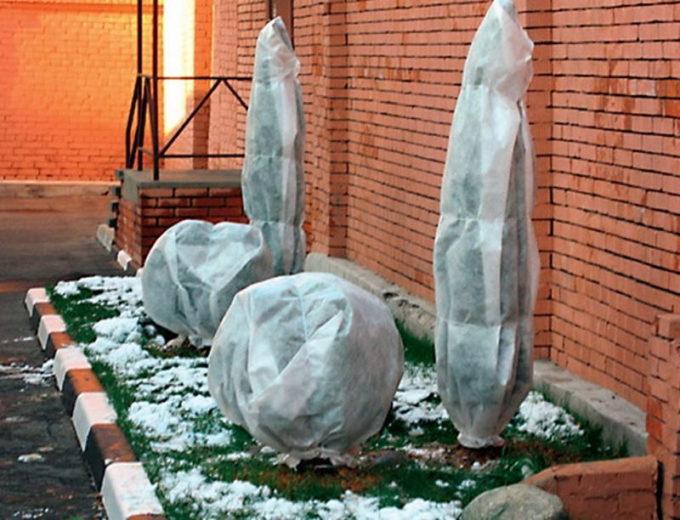 Подготовка пихты к зиме