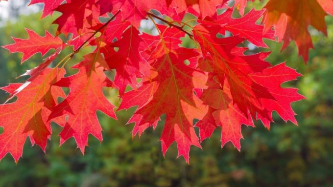 Листья дуба красного