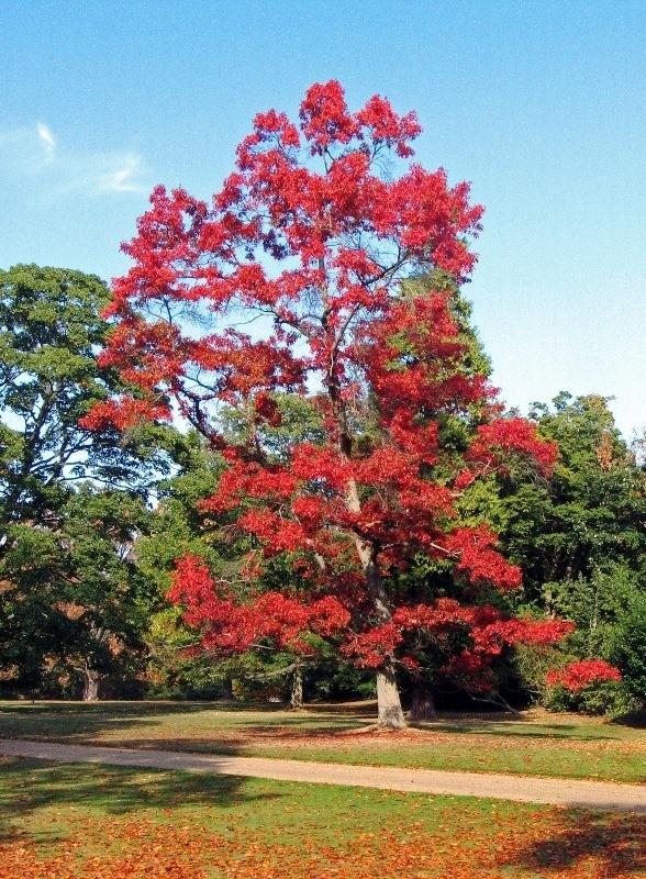 Красивый вид дуба красного
