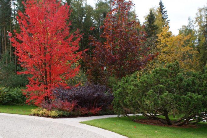 Дуб красный в ландшафтном дизайне