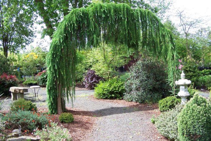 Живая арка из лиственницы