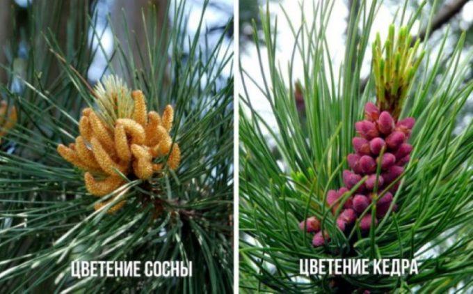 Различие цветения кедра и сосны