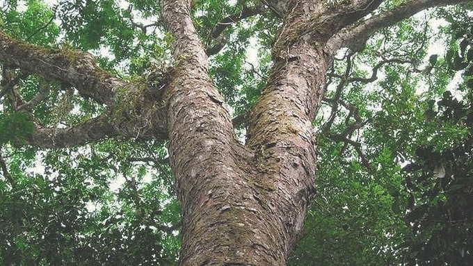 Дерево зебрано в живой природе