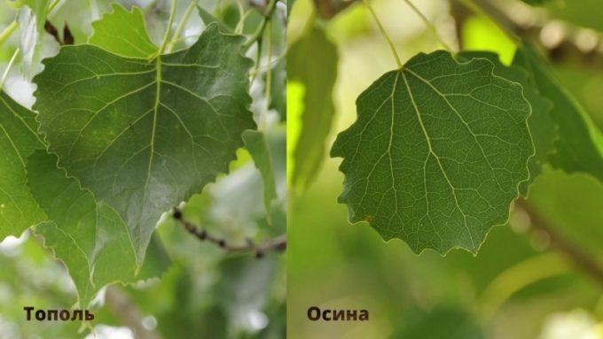 Листья тополя и осины сравнение