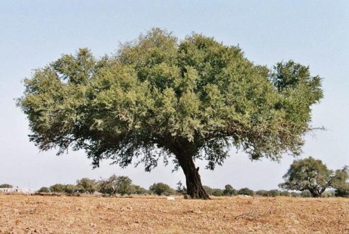 Внешний вид железного дерева