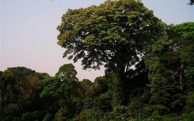 Зебрано дерево