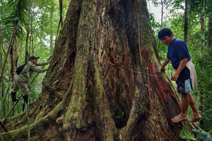 Зебрано дерево - ствол