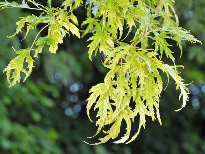 Листья клена Лацианатум Виери