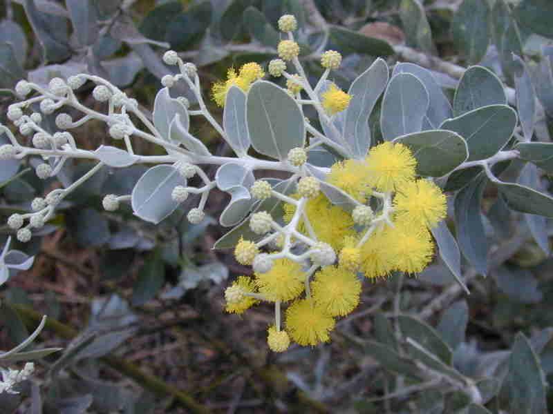 Акация подалириелистная (Acacia Podalyriifolia)