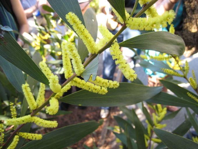 Акация длиннолистная (Acacia longifolia)