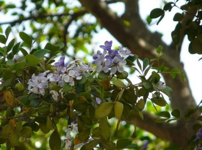 Бакаутовое дерево