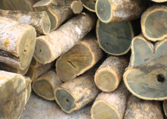 Ценная бакаутовая древесина