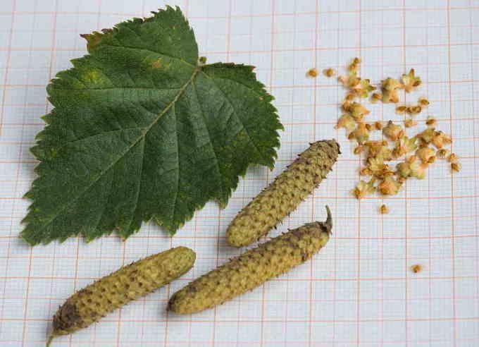 Плоды и семена березы повислой