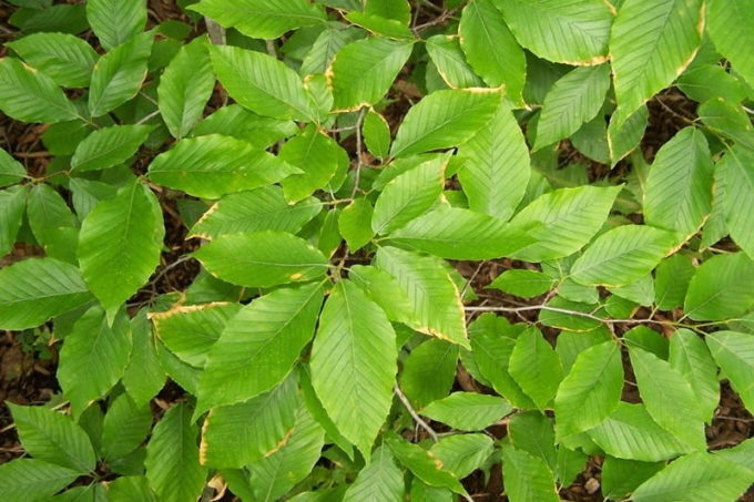 Fagus grandifolia (Бук крупнолистный)