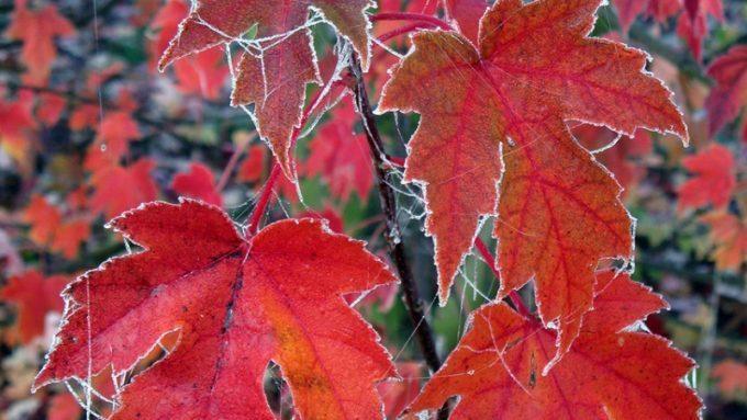 Окраска литьев канадского клена Фримена