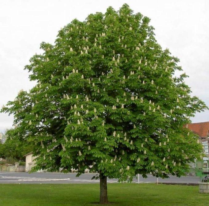 Каштан дерево