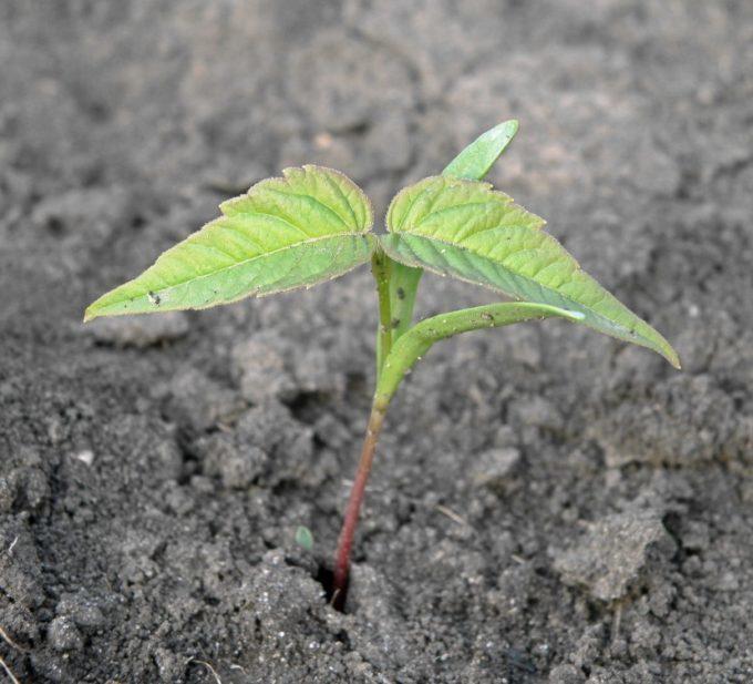 Росток клена ясенелистного
