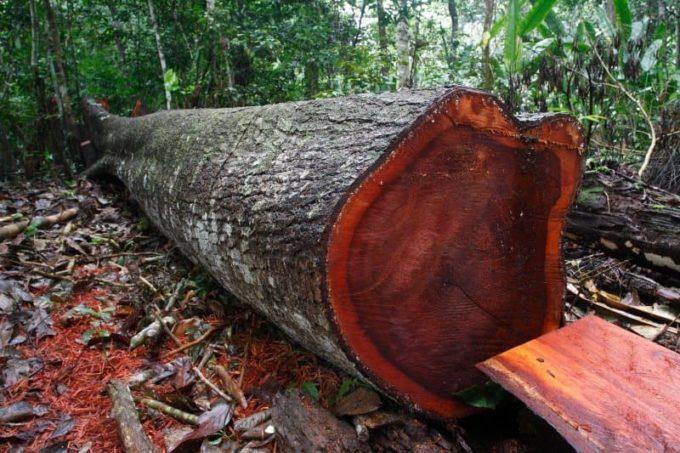 Древесина породы Свитения махагони (Swietenia mahagoni)