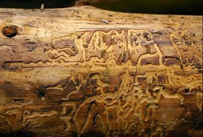 Вред древесине от насекомых-паразитов